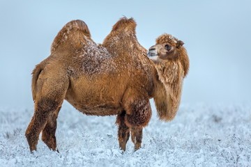 Camels in the winter Stavropol steppe. Pets in the steppe. The firm is on the shore of Lake Manych-Gudilo, south of Russia.