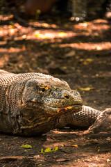 Obraz Dragones de Komodo en la isla de Rincca, Indonesia. - fototapety do salonu