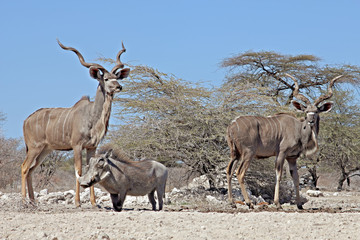 Greater Kudus and Warthog at waterhole, Onguma Game Reserve, Namibia