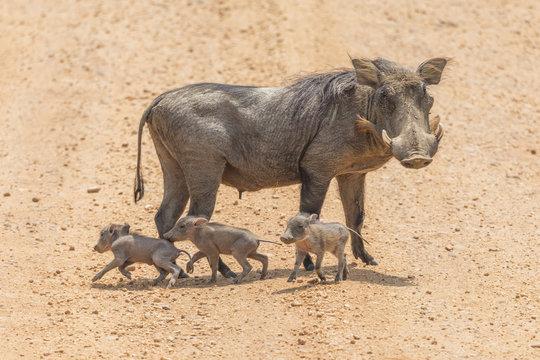 Warthog Baby Piglet