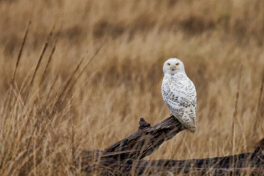 A snowy owl on a log