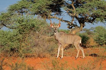 Photo sur Aluminium Antilope Male kudu antelope (Tragelaphus strepsiceros) in natural habitat, South Africa.
