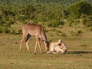 Kudu and Elephant skull
