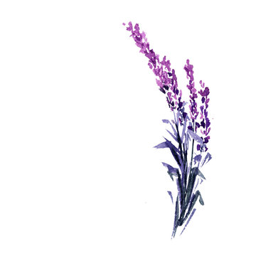 Lavender flower watercolor illustration. Straight lavender branch. Wedding and Valentine s day greeting cards floral design. Love and marriage. Single lavender twig. Isolated raster