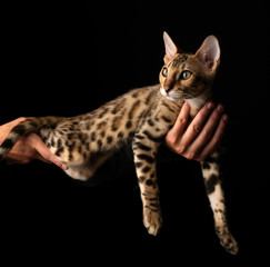 Women's hands are holding purebred Bengal cat.