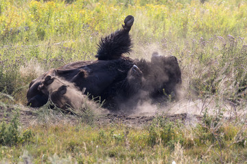 Canvas Prints Bison American bison (Bison bison) male rolls in a wallow taking a dust bath, Wyoming, USA.