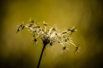 flor de cardo seco
