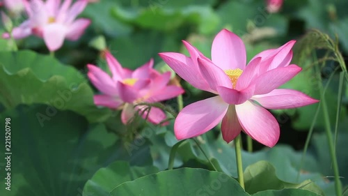 Lotus Flowers Stock Footage And Royalty Free Videos On Fotoliacom