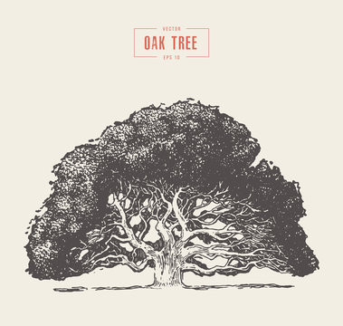 Old oak tree hand drawn engraved style, vector