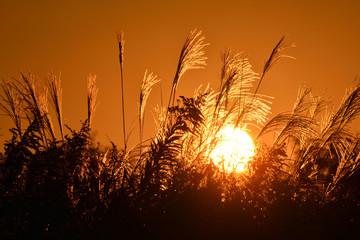 ススキ 輝く夕日