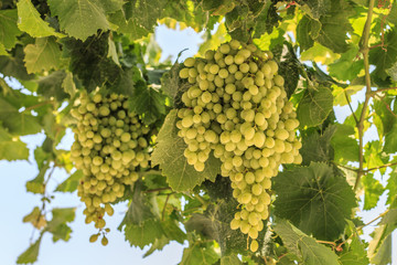 White grapes hanging on a bush in a sunny beautiful day.