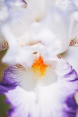 Close up pistils orange d'un iris