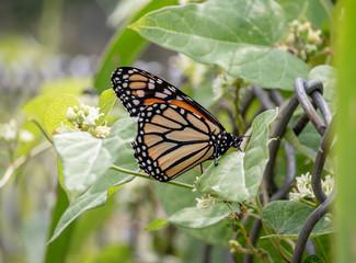 Pretty Butterfly One Side