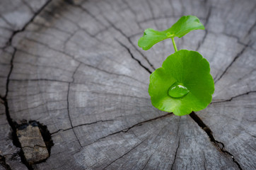 new green leaf born on old tree, water drop on new green leaf ,nature stock photo.