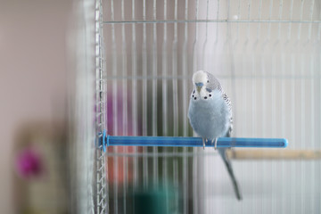 A wavy parrot sits on a plastic crossbar in a bird cage