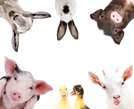 Portrait of a group of cute farm animals, isolated on white background