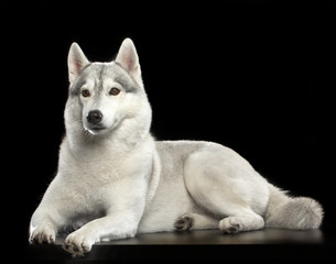Siberian Husky Dog Isolated  on Black Background in studio