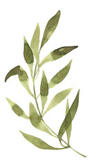 Olive watercolor branch on white background handpainting