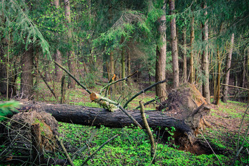 summer forest landscape. a dense pine forest with a fallen big tree