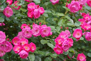 Spring roses in various varieties