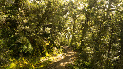 Sun rays shining through the trees in mysterious forest, Great walk Kepler track, New Zealand