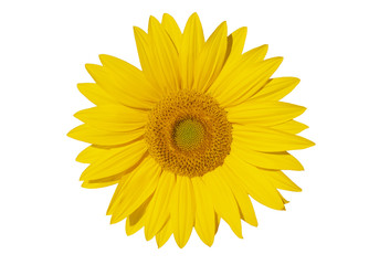 Single yellow flower. Sunflower isolated on white background