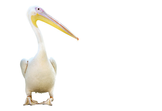 Portrait of a pelican standing isolated on white background