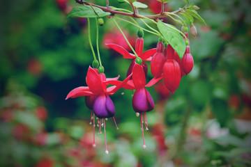 beautiful fuschia flower blooming in garden