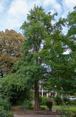 Ginkgo, Ginkgo-Baum, Ginkgo biloba, China, grün, Sommer, gesund, groß, ausgewachsen