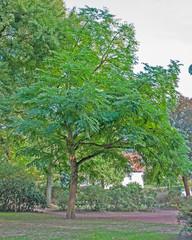 Chinesischer Götterbaum im Kurpark Bad Salzdetfurth