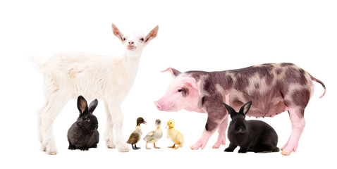 Group of cute farm animals, standing together, isolated on white background