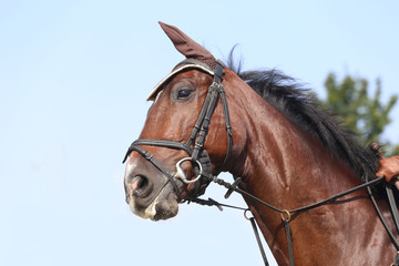 Head shot close up of a beautiful young sport horse during competition