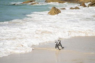 A Penguin couple is going into the water at Bolders Beach in Simon's Town, South Africa
