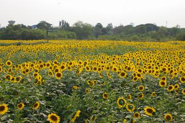 Fresh Sunflower in the field
