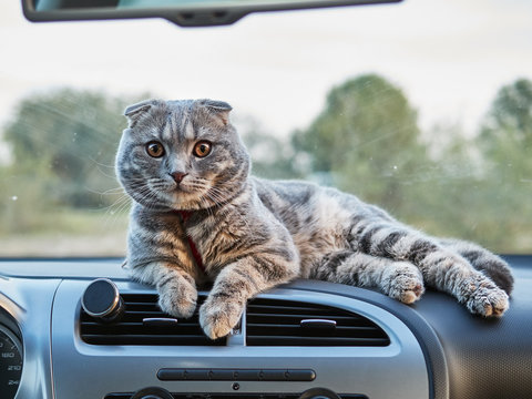 Young gorgeous scottish fold male cat lays on car panel. Travelling with pets concept.
