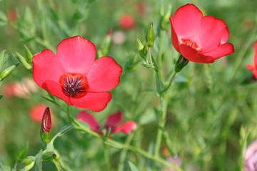 Obraz Kwiaty czerwonego lnu - fototapety do salonu