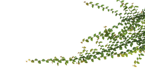 Branch with green leaves of Ficus pumila (creeping fig or climbing fig) grow and cover on the white wall background. Flat lay, clipping path included.