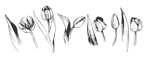 tulip flower graphic illustration decorative nature art