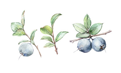 watercolor art illustration herb blueberry background isolated