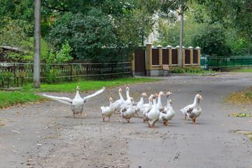 Flock of domestic geese walks along an asphalt road in the village