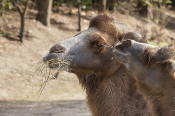 Photo Blinds Camel Kameel eet hooi