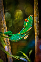 Colorful chameleon named '' lendormi '' by the Reunionese, hidden in the vegetation