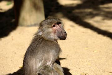 Portrait of Old World hamadryas baboon adult female monkey