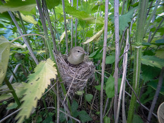 Acrocephalus dumetorum. The nest of the Blyth's Reed Warbler in nature.