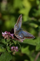 blue butterfly on flower - Adonis Blue