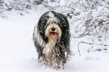 Bearded Collie im Schnee