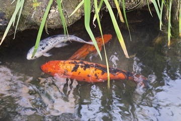large Japanese koi carp in a pond in the park