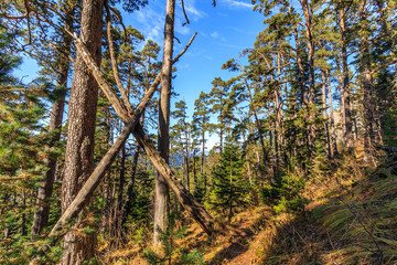 Scenic landscape of sunny autumn coniferous forest of pine trees on blue sky background. West Caucasus mountains