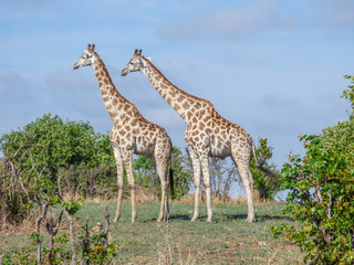 Safari theme, African Giraffes in natural habitat