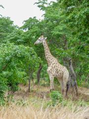 Safari theme, African Giraffe in natural habitat